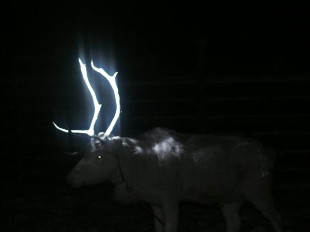 Finland: members of the Reindeer Herders' Association are experimenting with reflective sprays to make the animals more visible on the roads of Lapland in the north. Between 3-5,000 are involved in car accidents each year. It the spray proves durable it will be rolled out more widely next autumn. See www.paliskunnat.fi for more.