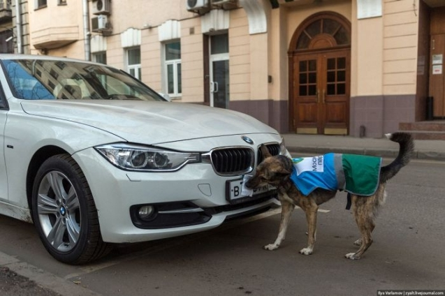 Parking Mutt Moscow: specially trained dogs remove (and bin) the pieces of paper drivers use to obscure their number plates, and avoid the traffic authorities. Via @EnglishRussia.
